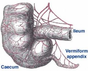 what does your appendix do? - michael a. verdicchio, Human Body